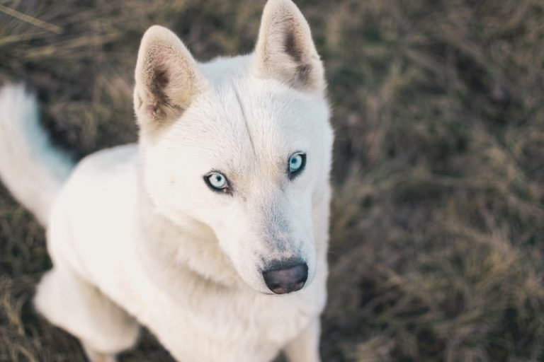 solid white husky