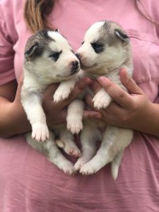 Siberian Husky Puppies For Sale Louisiana Mississippi